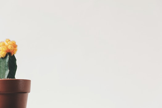 Free stock photo of flowers, yellow, plant, pot