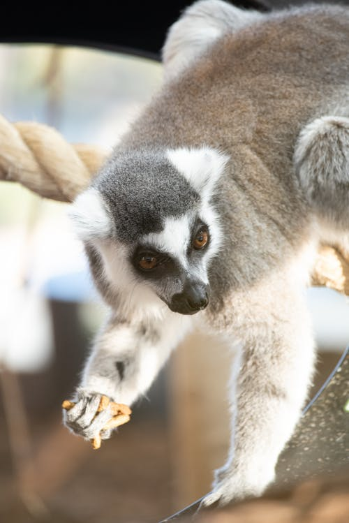 Close-Up Photo Of Lemur