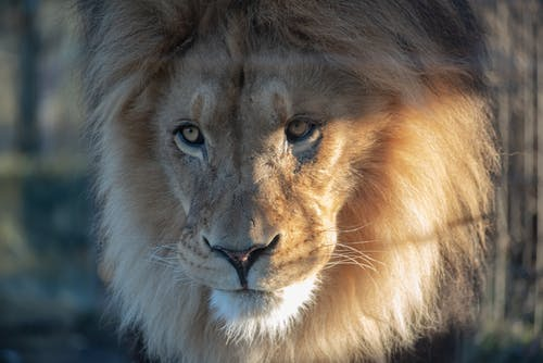Close-Up Photo Of Lion