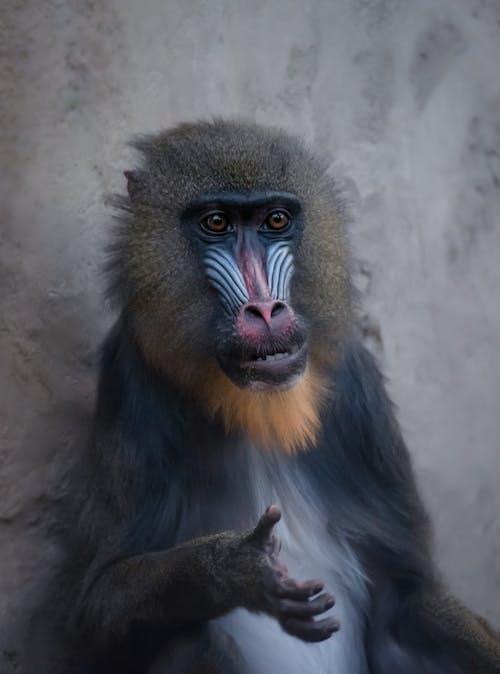 Ingyenes stockfotó állatkert, álló kép, emberszabású majom témában