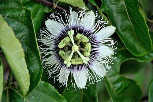 Imagine de stoc gratuită din alb, floare, floarea pasiunii, fructul pasiunii