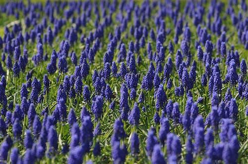 Ilmainen kuvapankkikuva tunnisteilla helmililja, kasvit, kenttä, kukat