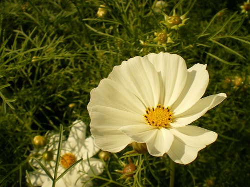 Бесплатное стоковое фото с белый, природный, снимок крупным планом, цветок