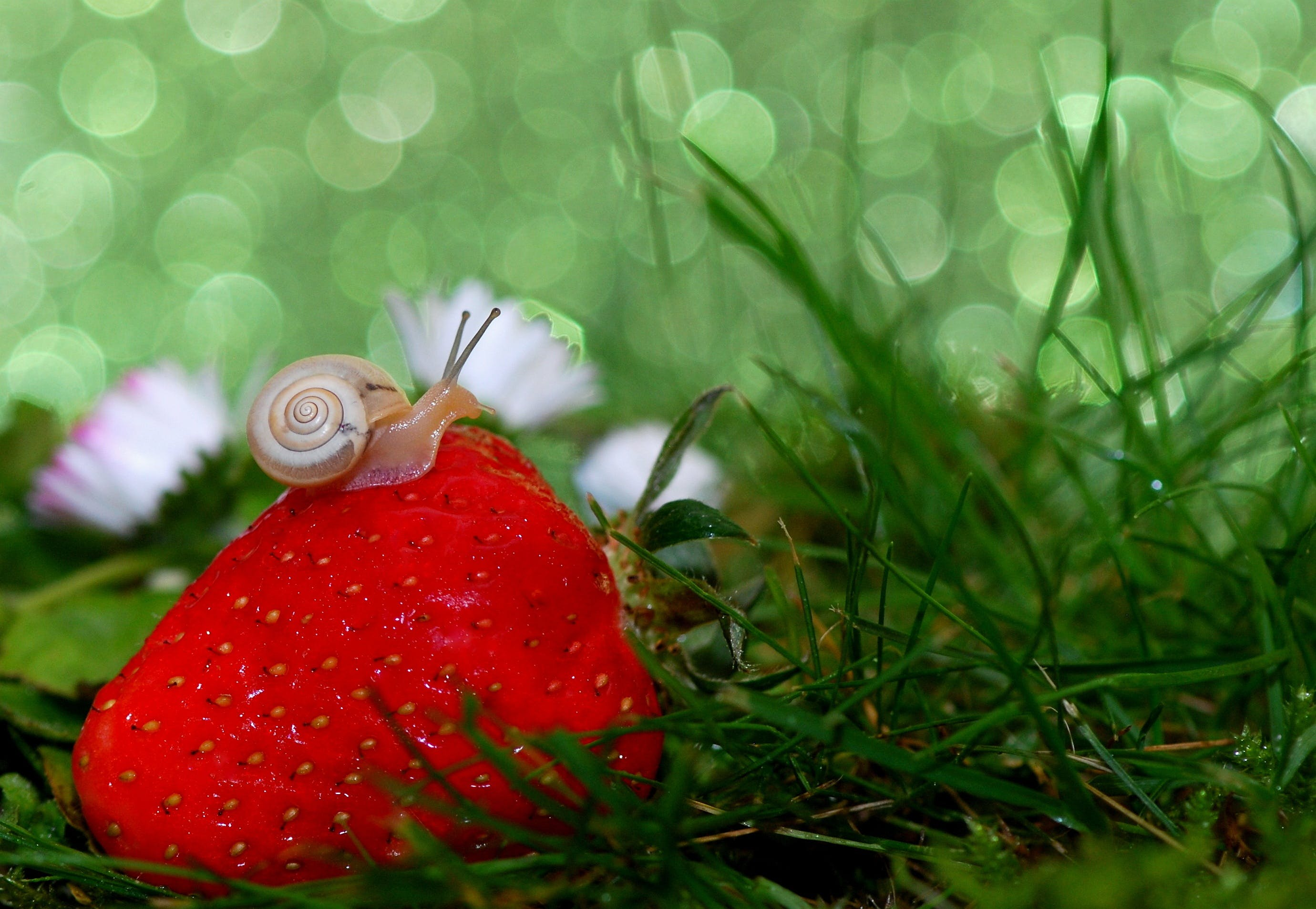 Snail on Top of Strawberry