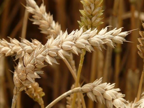 Бесплатное стоковое фото с выращивать, заводы, максросъемка, пшеничное поле
