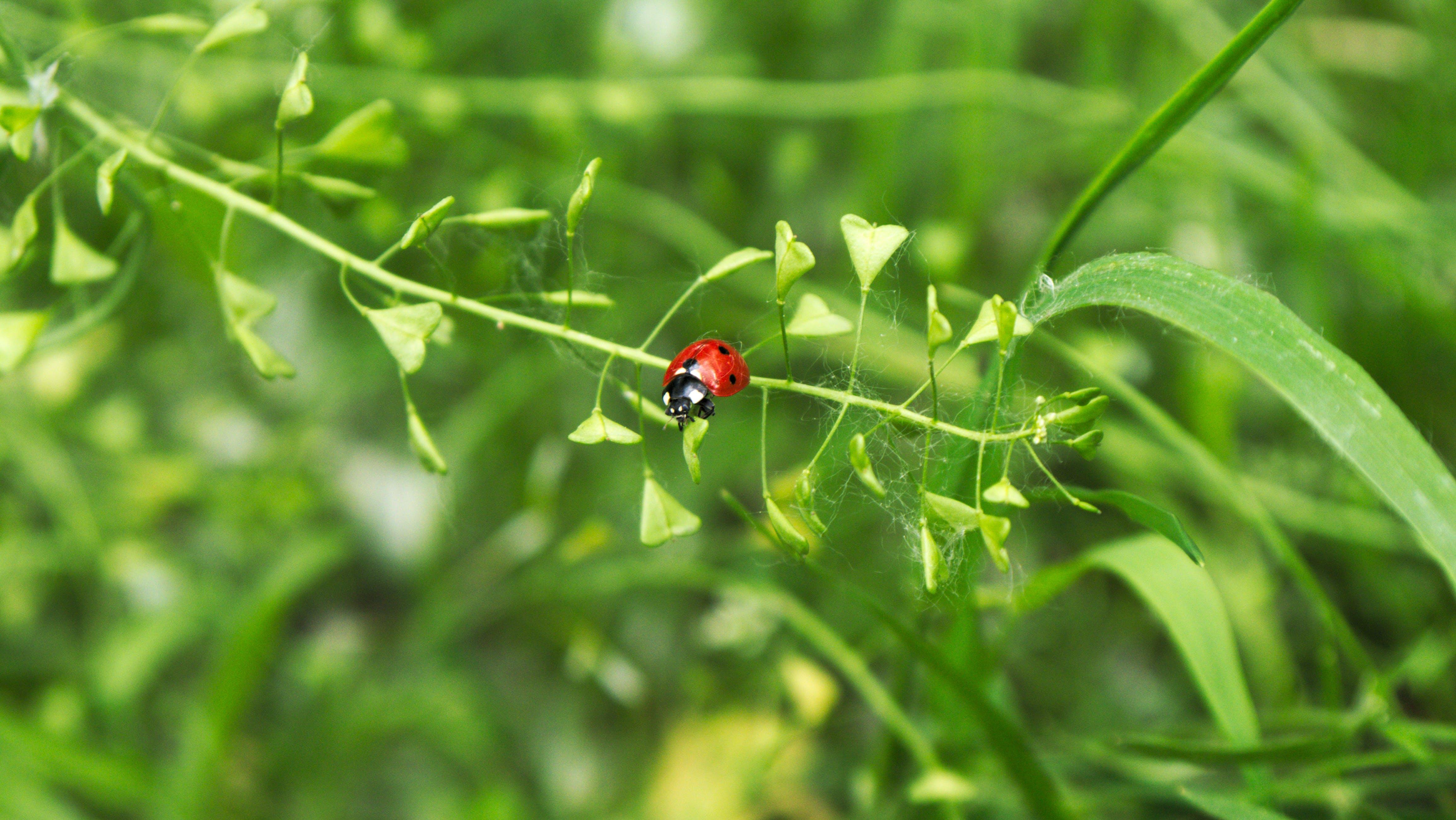 Free stock photo of bug, ladybug