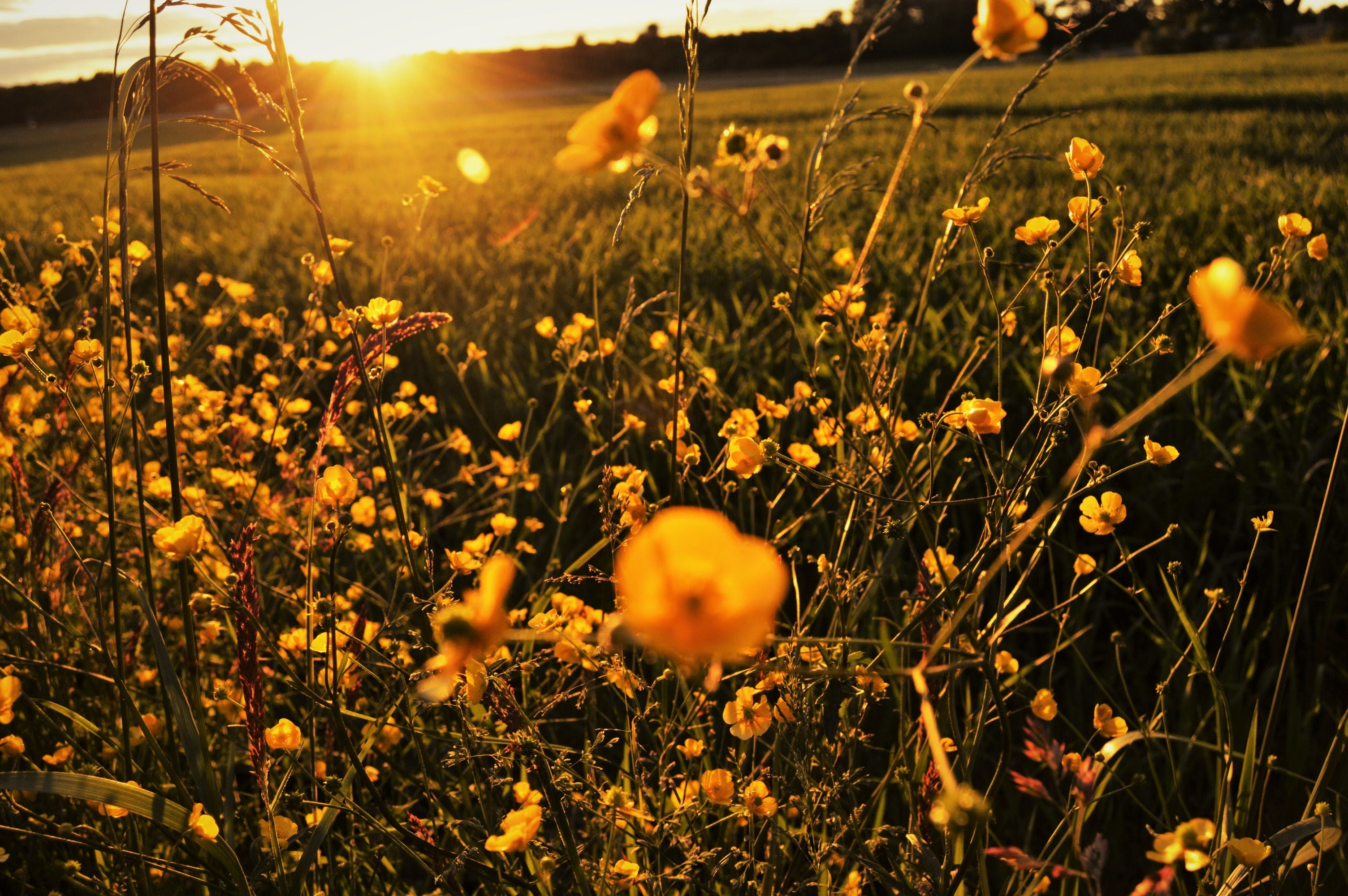 Free stock photo of evening, field, flowers, grass