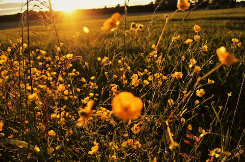 Free stock photo of evening, field, flowers