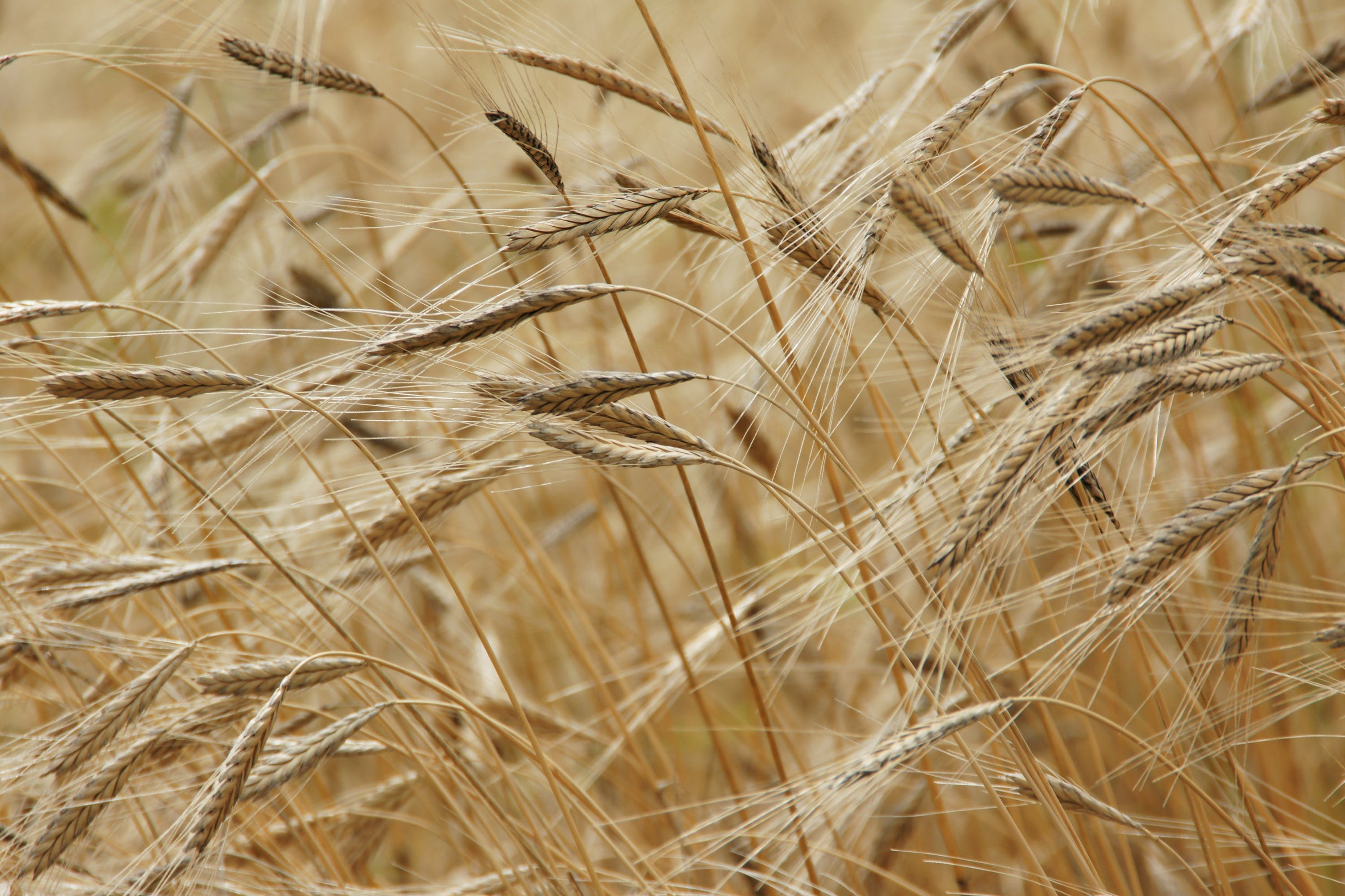 Wheat Field in Close Up Photography