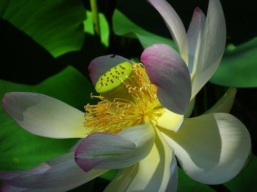 คลังภาพถ่ายฟรี ของ กลีบดอก, ต้นไม้, ธรรมชาติ, บัว