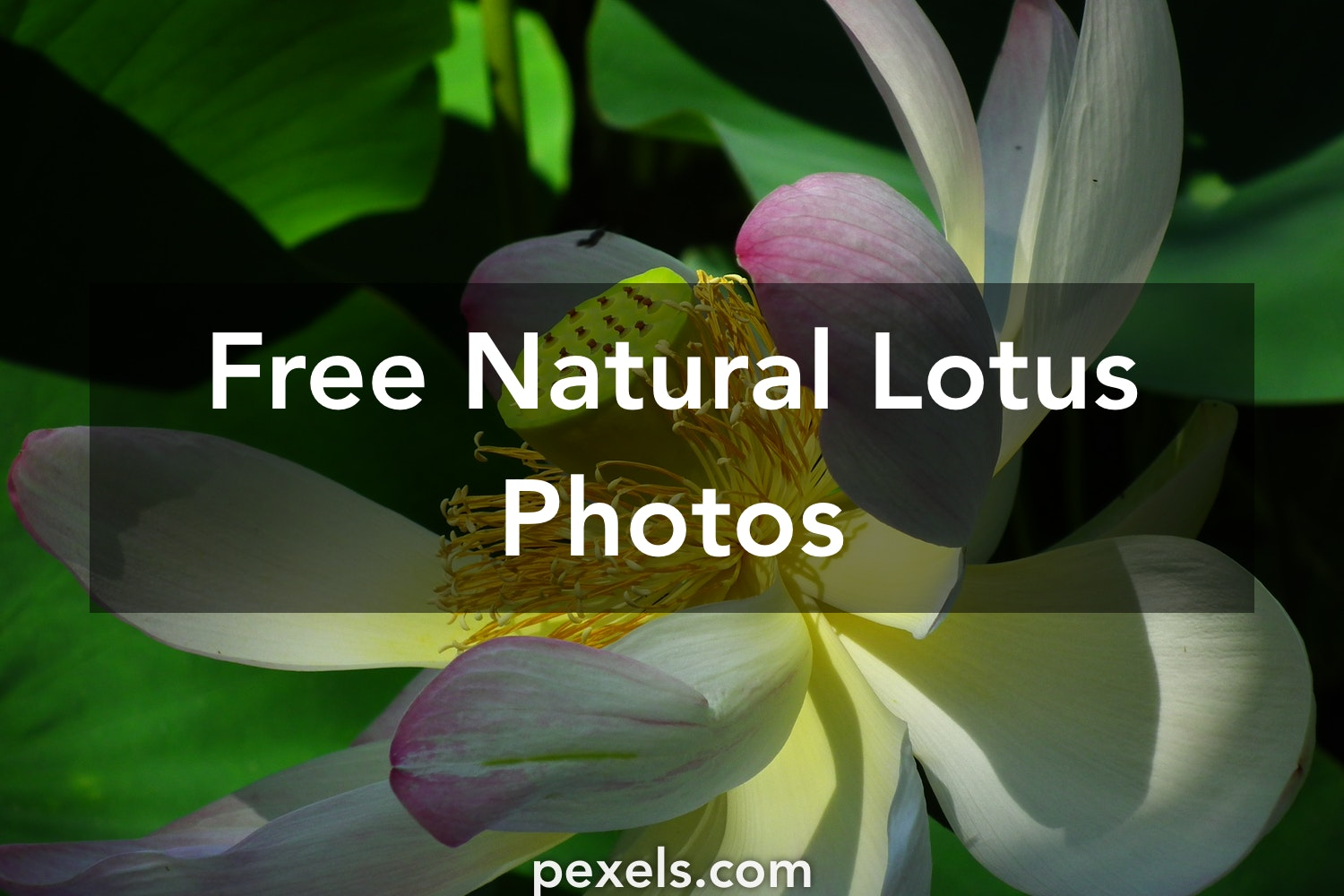 1000 Great Natural Lotus Photos Pexels Free Stock Photos