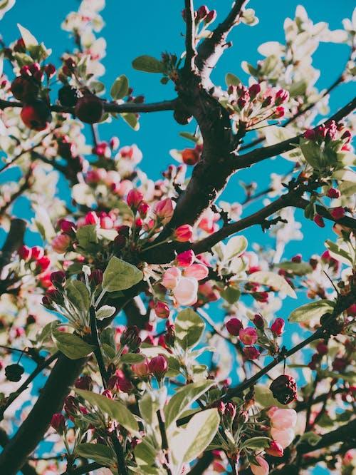 Gratis lagerfoto af æbleblomster, blomst, blomstrende, delikat