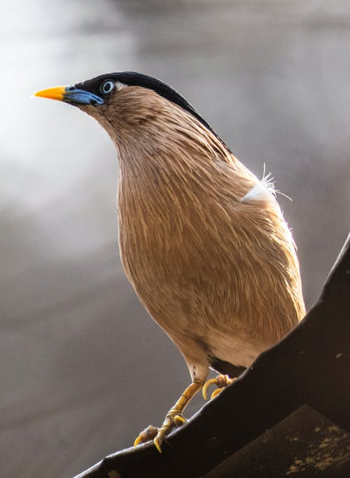 Low angle of small brahmin starling with bright beak sitting on edge of roof