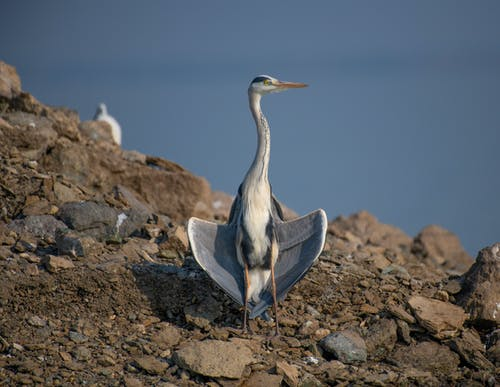 Wild heron with gray plumage and long beak on rocky shore against blue sky