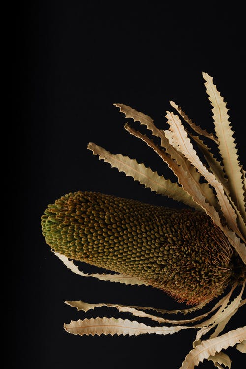 Beautiful flower of exotic banksia plant on black surface