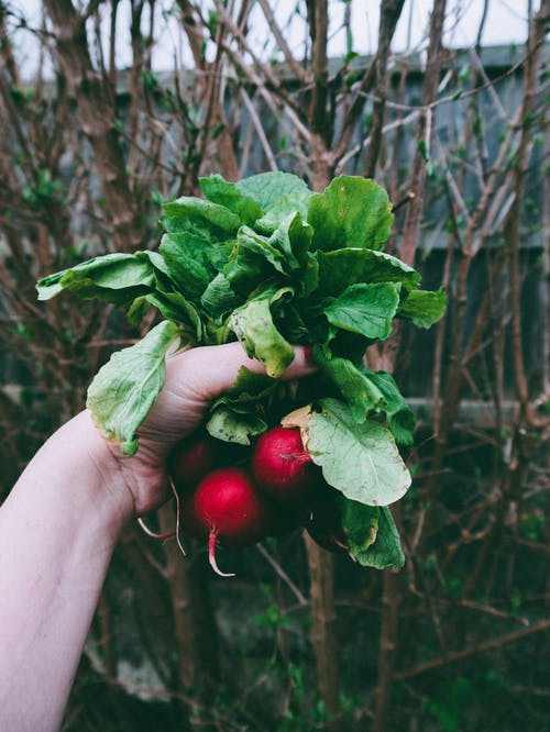 Person Holding A Red Radish Plant
