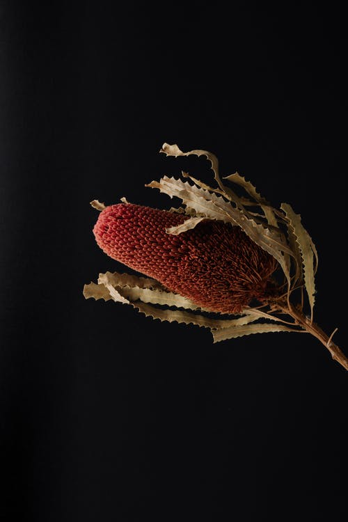 Red flower of exotic banksia plant on black surface