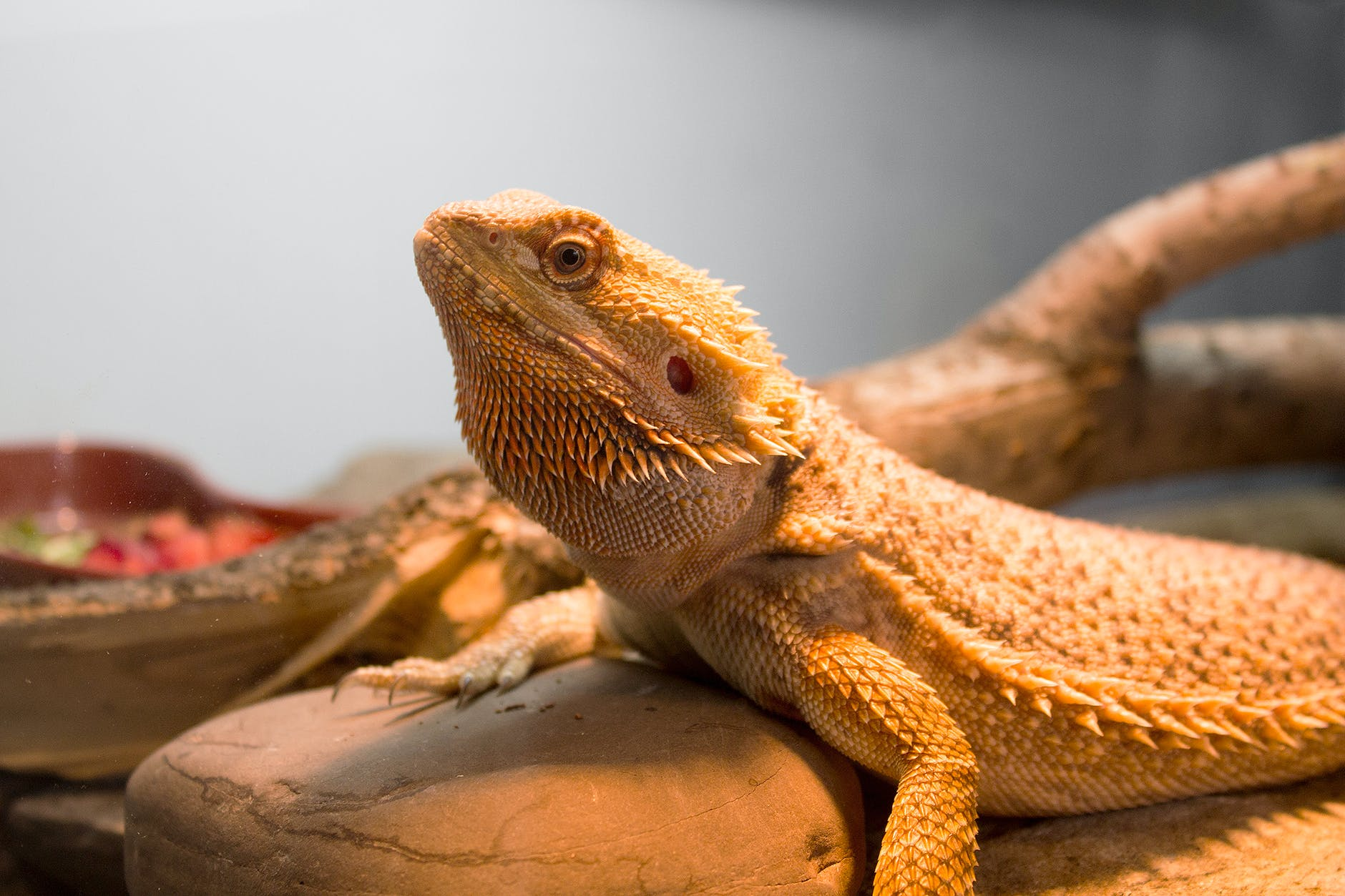bearded lizard pictures - 1024×512