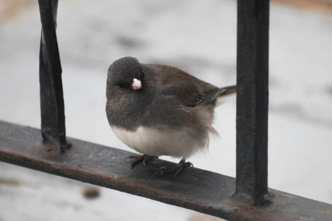 Free stock photo of cute, dark eyed junco, fluffy
