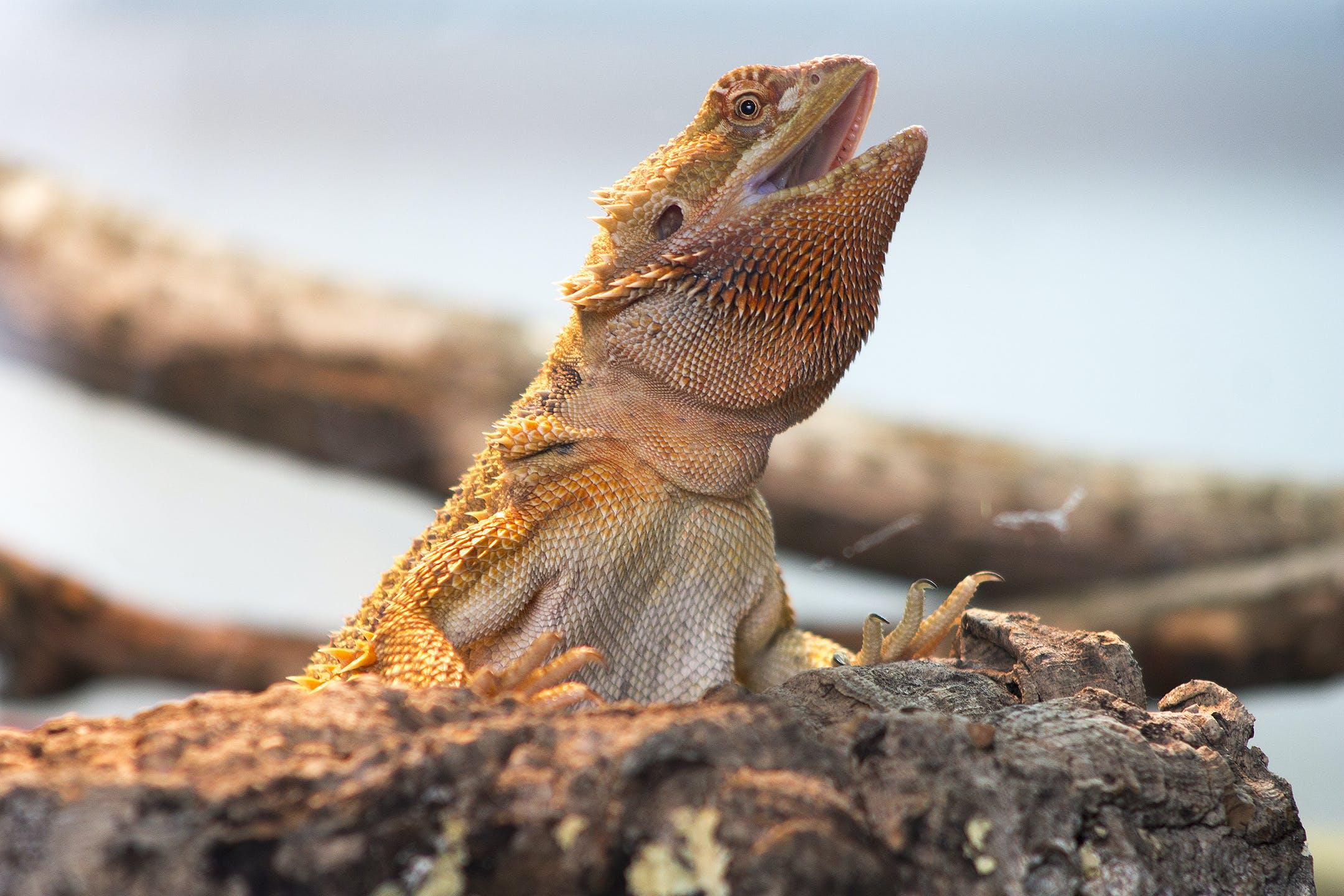 Free stock photo of bearded dragon, beardie, dragon, lizard