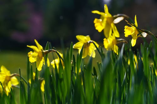 Free stock photo of daffodils, easter, flowers