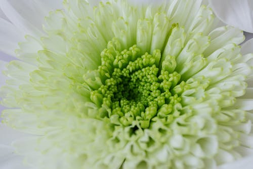 Background of green white chrysanthemum in flower shop