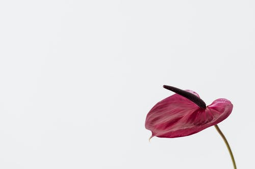 Flamingo Flower with dark spadix near gray background