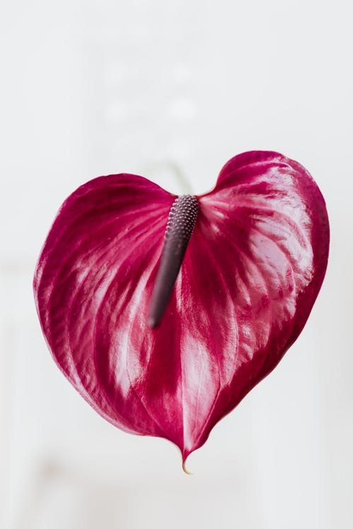 Purple flower and cob of Anthurium plant