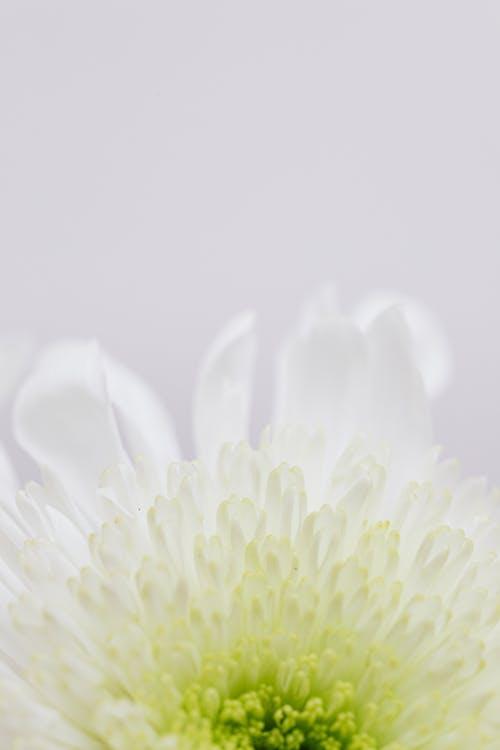 Darmowe zdjęcie z galerii z białe tło, biały, botaniczny, botanika