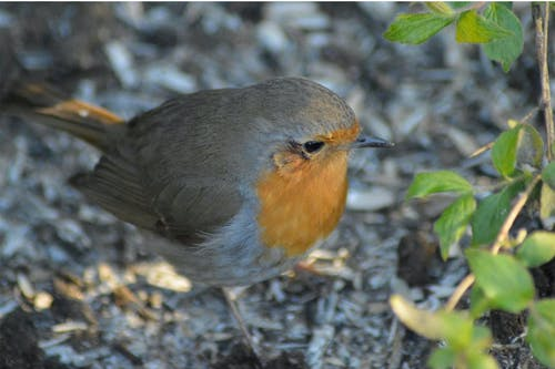 Free stock photo of bird, robin, spring