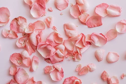 Dried petals of roses on pink background