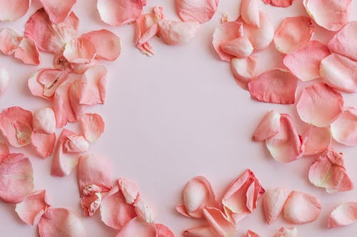 Scattered rose petals on white background