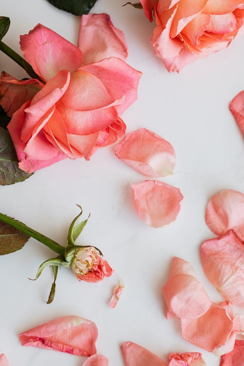Top view of beautiful pink roses and one empty rose stem with fallen petals scattered around isolated on white background