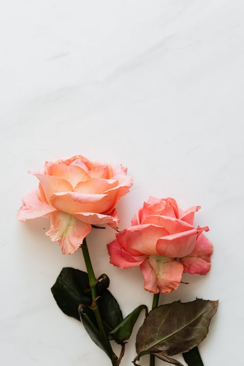 From above of pale pink blossoming roses with tender wavy petals and thin stems with dark green faded leaves on white table