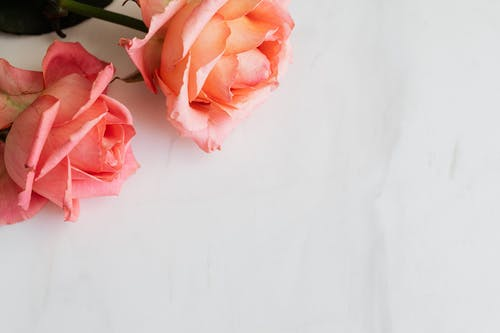 Pink roses with tender petals on white surface