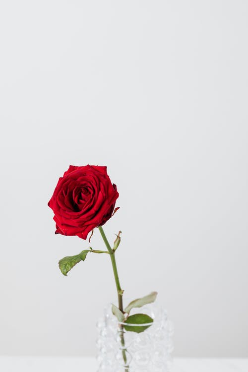 Delicate blooming red rose bud with wavy petals on thin stem with pointed green leaves put on glass bubbly vase near white wall