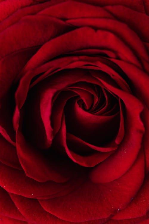 Fresh red rose bud surface