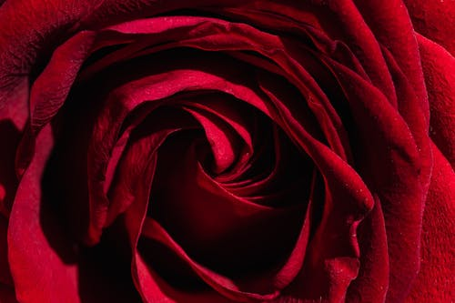 Majestic red rose bud texture