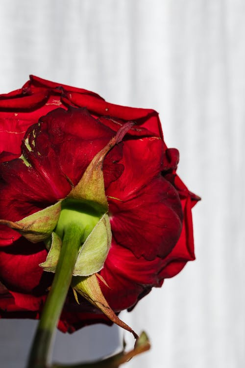 Fresh red rose stalk on white curtain background