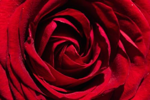 Darmowe zdjęcie z galerii z abstrakcyjny, botaniczny, botanika, czerwony