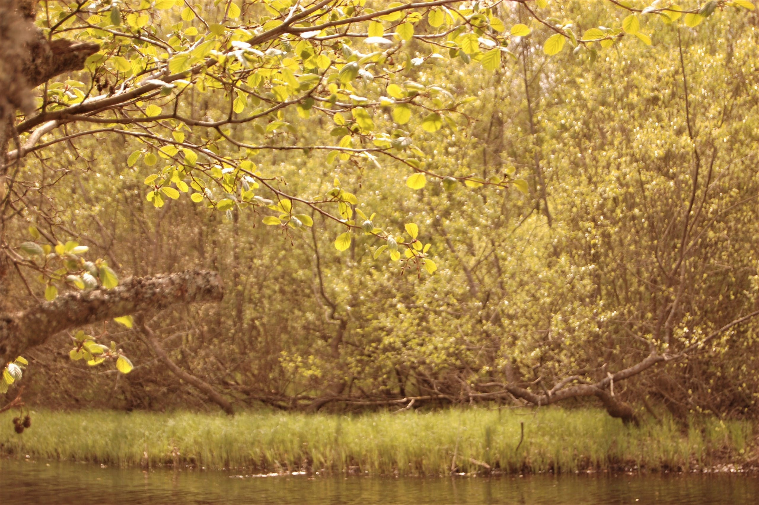 Free stock photo of forest, green, lake, leaf