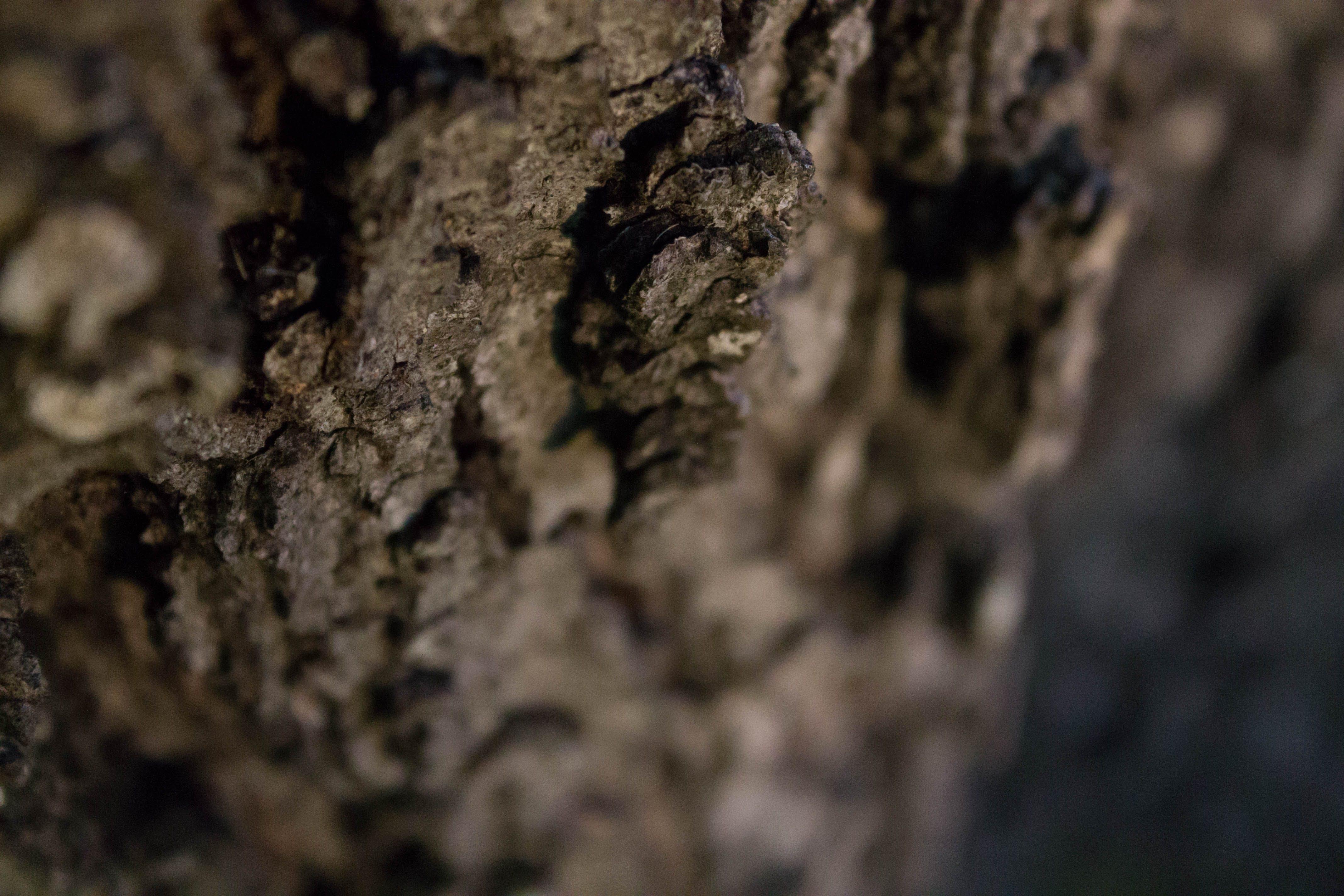 Free stock photo of depth of field, tree bark, water oak