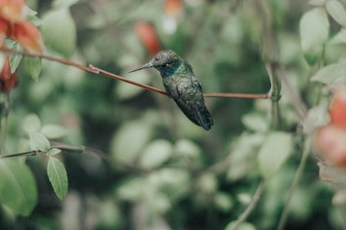 Hummingbird on thin branch in woods
