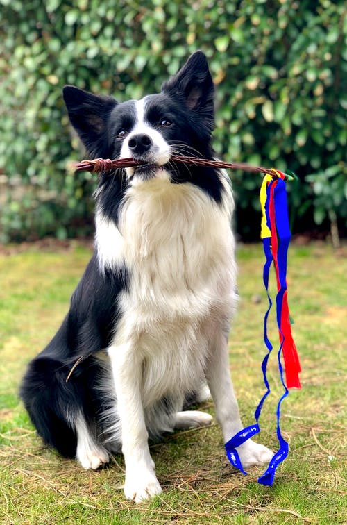 Black and White Border Collie Being Trained