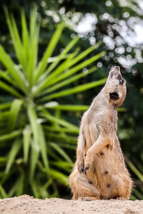 A Meerkat Looking Up