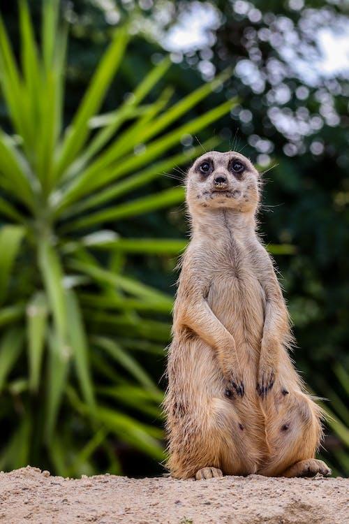 A Meerkat Standing On Sand