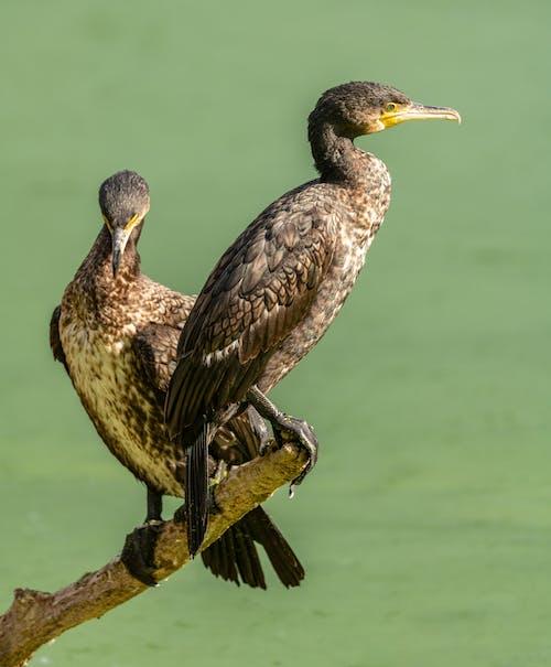 Immagine gratuita di animale, appollaiato, becco, cormorano