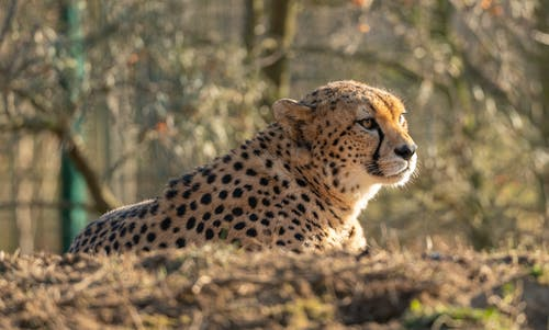 Cheetah Lying on Brown Grass