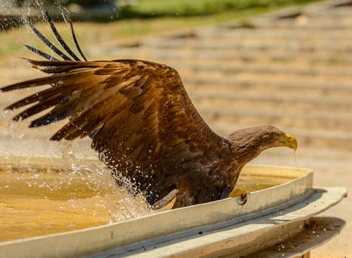Golden Eagle Flying over Water