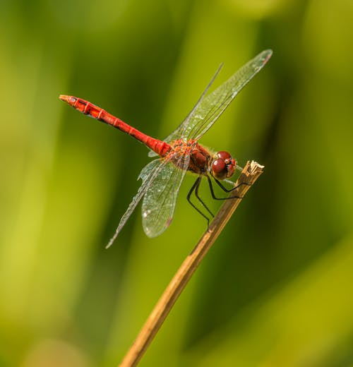 Close-Up Photo of Red Dragonfly